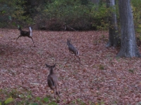 running-deer-2