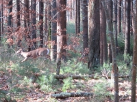 running-deer